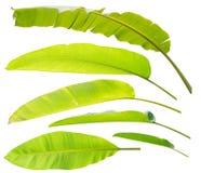 La banane part et l'isolat de feuilles de galangal réglé sur le fond blanc Images stock