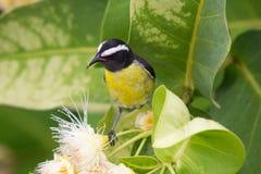 La banane stoppée (flaveola de Coereba) était perché sur un arbre d'Apple de cire (samarangense de syzygium) en fleur. Le Grenada, Photos libres de droits