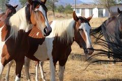 La banda de los caballos americanos salvajes del mustango pinta Pintos imagen de archivo libre de regalías