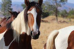 La banda dei cavalli americani selvaggi del mustang dipinge i pinti Immagini Stock
