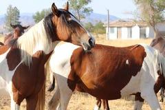 La banda dei cavalli americani selvaggi del mustang dipinge i pinti Immagine Stock Libera da Diritti
