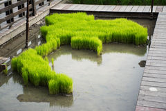 La bandiera della Tailandia fatta dalla coltivazione del riso Fotografia Stock