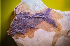 La Bangkok-Tailandia, il 15 luglio 2017: Il fossile di una CYP preistorica Fotografia Stock