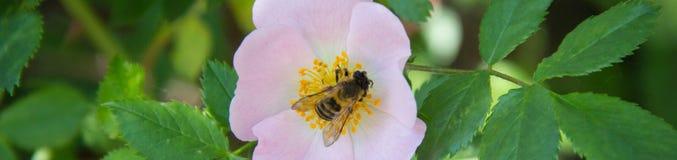 La bannière de l'abeille sur une fleur de sauvage s'est levée Images libres de droits