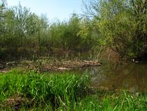 La banque de la petite rivière avec des arbres et des cannes photo stock