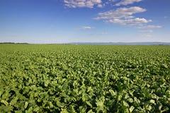 La barbabietola da zucchero pota il campo, giacimento agricolo della barbabietola da zucchero del paesaggio Fotografia Stock