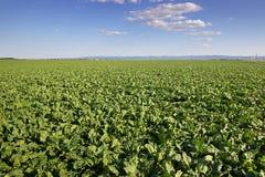 La barbabietola da zucchero pota il campo, giacimento agricolo della barbabietola da zucchero del paesaggio Fotografia Stock Libera da Diritti