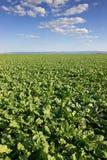 La barbabietola da zucchero pota il campo, giacimento agricolo della barbabietola da zucchero del paesaggio Immagine Stock