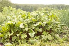 La barbabietola dolce copre di foglie (barbabietola) Fotografia Stock Libera da Diritti