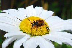 La barbilla del escarabajo de Brown tiene pequeñas flores amarillas del polen, en el día de verano Barbilla del escarabajo Fotos de archivo libres de regalías