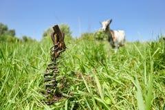 La barra de metal oxidada vieja hundida en la tierra en el prado, cabra está pastando en la cadena, fondo suave con el copyspace  fotos de archivo