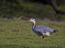 La barre a dirigé l'oie (Anser Indicus) Images stock