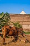 La barrière de Taj Mahal et une vache frôle près de cette merveille du monde Un du bâtiment le plus célèbre au monde ceci Photographie stock
