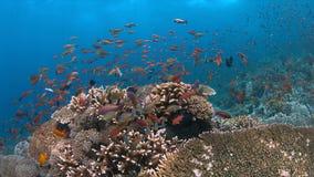 La barriera corallina con i coralli duri sani e l'abbondanza pescano Immagini Stock
