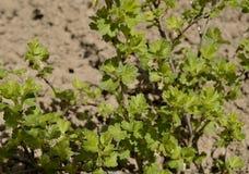 La barriera naturale coltiva l'uva spina fresca l di verde del fogliame del cespuglio di struttura dell'agricoltura dell'albero d Fotografia Stock