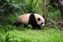 La base di ricerca di Chengdu dell'allevamento gigante del panda Fotografie Stock