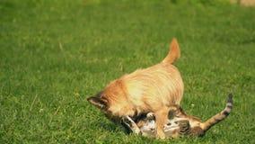 La batalla de un perro y de un gato almacen de metraje de vídeo