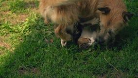 La batalla de un perro y de un gato almacen de video