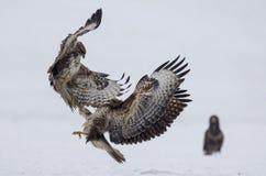 La battaglia fra gli uccelli predatori Fotografia Stock Libera da Diritti