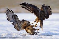 La battaglia fra le poiane comuni predatori Fotografia Stock Libera da Diritti