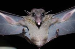 La batte est mammifère pendant la nuit Image libre de droits
