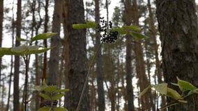 La baya del saúco en el bosque almacen de video