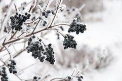 La baya del saúco en nieve Foto de archivo