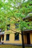 La beauté d'automne du Ginkgo Biloba dans la ville de Nanxing Photos libres de droits
