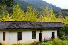 La beauté d'automne du Ginkgo Biloba dans la ville de Nanxing Photographie stock