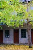 La beauté d'automne du Ginkgo Biloba dans la ville de Nanxing Photo stock