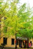 La beauté d'automne du Ginkgo Biloba dans la ville de Nanxing Image stock