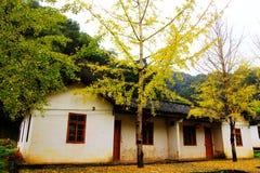 La beauté d'automne du Ginkgo Biloba dans la ville de Nanxing Photo libre de droits