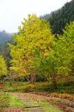 La beauté d'automne du Ginkgo Biloba dans la ville de Nanxing Photographie stock libre de droits