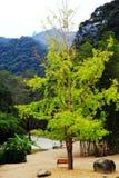 La beauté d'automne du Ginkgo Biloba dans la ville de Nanxing Image libre de droits