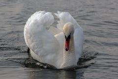 La beauté d'un cygne dans une période d'amour Dans le lac Orestiada de Kastoria, la Grèce Photos libres de droits