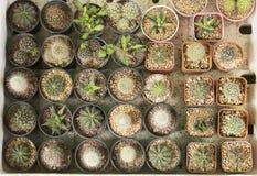 La beauté de beaucoup d'espèces de cactus Photo stock