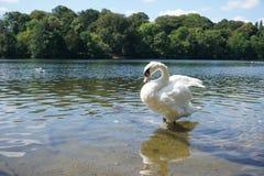 La beauté de chanson de cygne par le lac photo libre de droits
