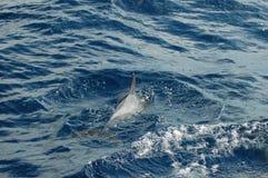 La beauté des dauphins d'eau de mer jouant dans l'Océan Atlantique Photographie stock