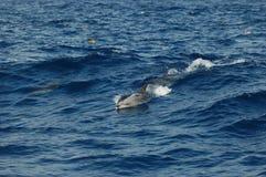 La beauté des dauphins d'eau de mer jouant dans l'Océan Atlantique Photo libre de droits