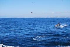 La beauté des dauphins d'eau de mer jouant dans l'Océan Atlantique Image libre de droits