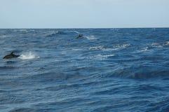 La beauté des dauphins d'eau de mer jouant dans l'Océan Atlantique Images stock