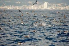 La beauté des dauphins d'eau de mer jouant dans l'Océan Atlantique photos libres de droits
