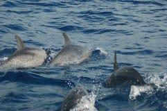 La beauté des dauphins d'eau de mer jouant dans l'Océan Atlantique Image stock