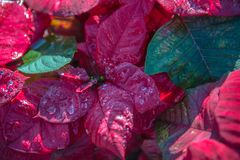 La beauté des usines rouges photographie stock