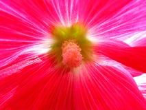 Noyau de fleur de rose trémière Images stock