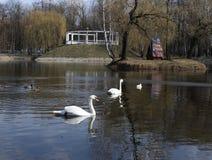 La beauté et la grâce des cygnes sauvages en parc Image libre de droits