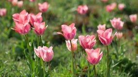 La beauté renversante d'un lit des tulipes roses banque de vidéos