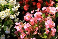La begonia es una planta real de la frontera Imágenes de archivo libres de regalías