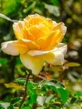 La bella arancia è aumentato in un giardino Immagini Stock Libere da Diritti