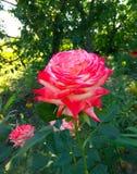 La bella, casa rossa è aumentato crescendo nel giardino fotografie stock libere da diritti